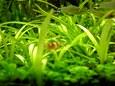 水草の中のエビ